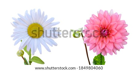 flower of chamomile and dahlia blooming, clipping path