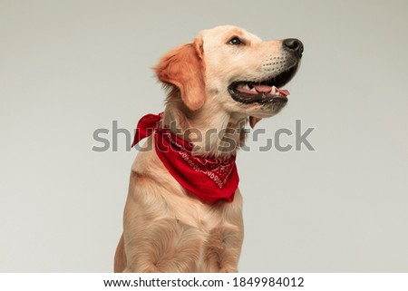 beautiful golden retriever dog looking aside and dreaming against gray background