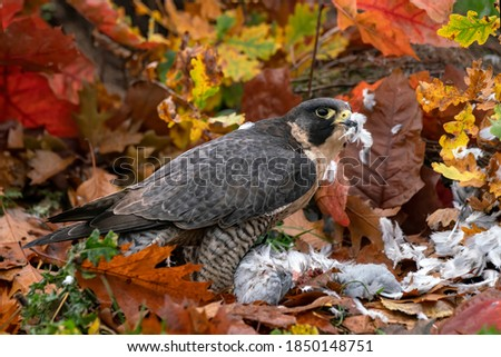 Beautiful Peregrine Falcon (Falco peregrinus) on the ground with a prey . Falco peregrinus in the nature habitat. Autumn colors in the background. In an autumn forest in the Netherlands