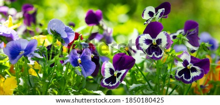 colorful pansy flowers in a garden on a green background