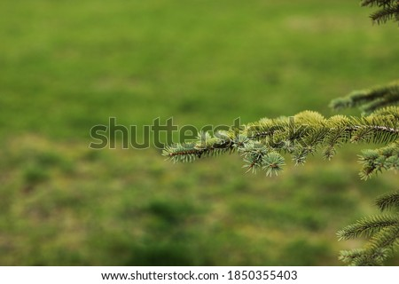 Spruce branch. Beautiful branch of spruce with needles. Christmas tree in nature. Green spruce. Spruce close up. Royalty-Free Stock Photo #1850355403