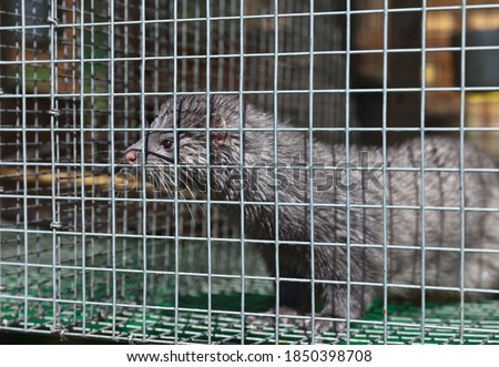 Funny European blue mink animal in a cage with wet fur after a shower in summer. Breeding animals in captivity. Fur farm, zoo #1850398708