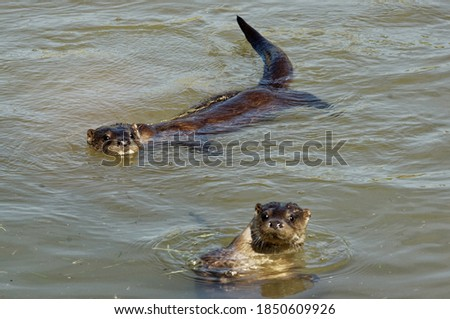 Eurasian Otter (Lutra lutra) Juveniles in pool, putdoors,portrait,in care.