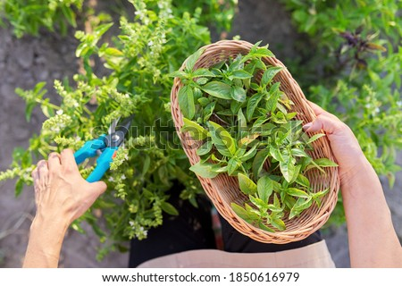 Woman farmer gardener cuts basil with pruner, leaves in basket, harvest of green herbs, natural organic spices Royalty-Free Stock Photo #1850616979