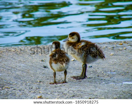 Two very young ducklings siblings standing together by the lake (outside the water). Pictured from the back, the ducklings are looking forward towards the water.