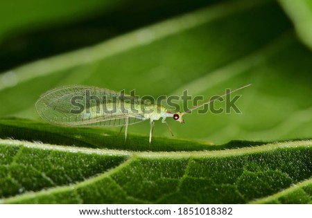 Adult Green Lacewing on a leaf at night in Houston, TX. These are beneficial creatures that are natural predators of other insect pests. Royalty-Free Stock Photo #1851018382