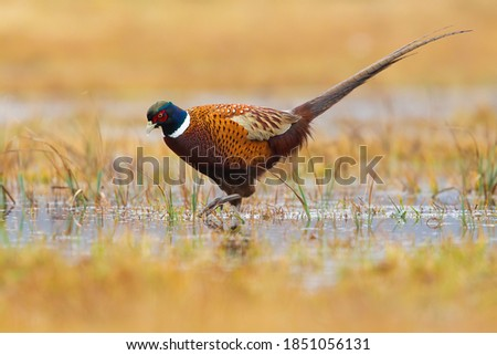 Common pheasant, phasianus colchicus, wading on marsh in autumn nature. Wild brown long tailed bird marching through swamp in fall. Ring-necked feathered animal looking for food in water.