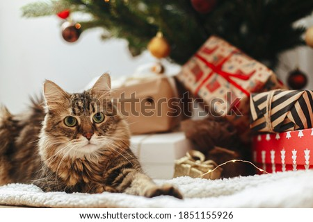 Adorable tabby cat sitting at wrapped gift boxes under christmas tree  with red and gold baubles. Cute Maine Coon relaxing in festive room. Merry Christmas! Pet and winter holidays #1851155926