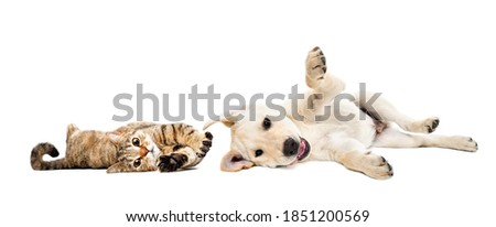 Playful cat scottish straight and labrador puppy lying together isolated on white background Royalty-Free Stock Photo #1851200569