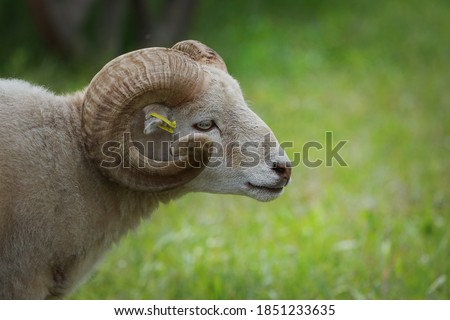 A sheep ram with horns walking on a sunny meadow. Farming. Livestock. Royalty-Free Stock Photo #1851233635