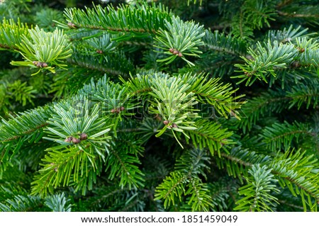 Plantation of evergreen nordmann firs, christmas tree growing ourdoor close up Royalty-Free Stock Photo #1851459049