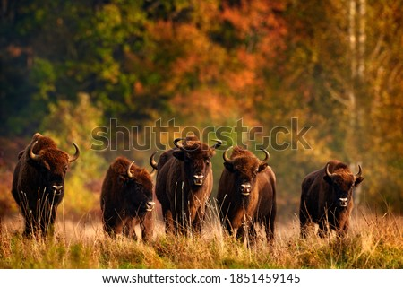 Bison herd in the autumn forest, sunny scene with big brown animal in the nature habitat, yellow leaves on the trees, Bialowieza NP, Poland. Wildlife scene from nature. Big brown European bison. Royalty-Free Stock Photo #1851459145