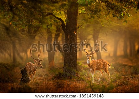 Chital deer from RAnthambore NP, India in Asia. Chital or cheetal, Axis axis, spotted deers or axis deer in nature habitat. Bellow majestic two powerful adult animals.  Royalty-Free Stock Photo #1851459148