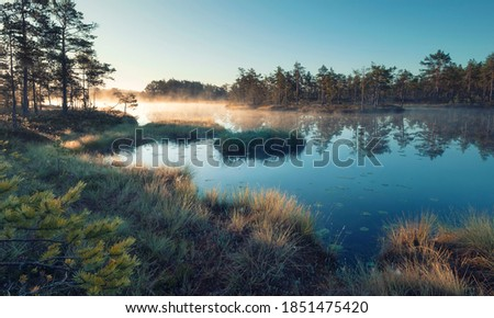 Autumn morning in the swamp. Natural landscape in the Ozernoye Swamp National Park with fog, yellowed grass,  and small pine trees.