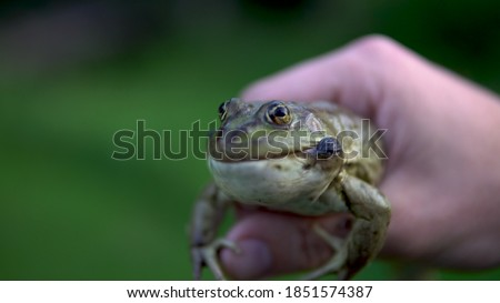 A big green toad in a man's hand. Toad defends inflates bubbles on cheeks