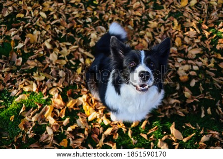 Top View of Smiling Border Collie Sitting Down on Fallen Autumn Leaves during Sunny Day. Top-Down Picture of Black and White Happy Dog in Fall Season.
