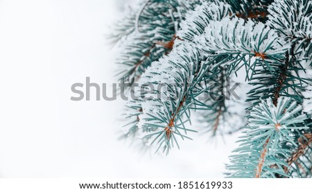 Beautiful Winter coniferous forest with trees covered frost and snow close up. Nature Winter background with snowy pine tree branches.Winter christmas  Wallpaper or Web banner