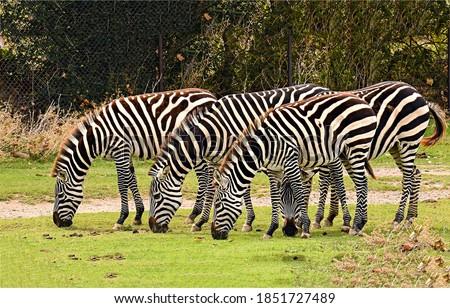 Zebra herd grazing in nature scene. Zebras group. Zebras. Zebra herd grazing Royalty-Free Stock Photo #1851727489