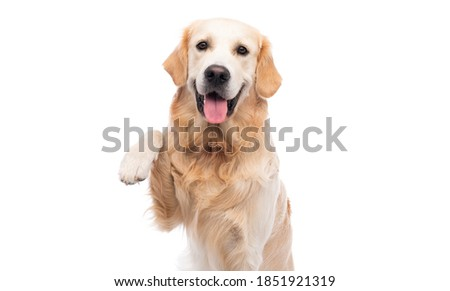 Golden retriever dog with paw up isolated on a white background Royalty-Free Stock Photo #1851921319