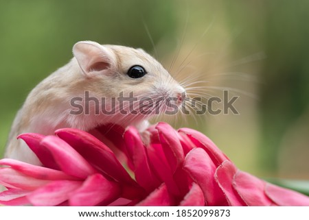 Mongolian gerbil playing on red flower, pet gerbil