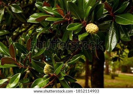 Magnolia fruit on the green leaves background. Magnolia velvet seed pod on tree. Magnolia soulangeana, the saucer magnolia.