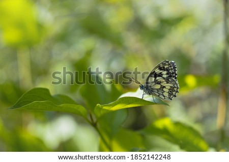 Marbled white butterfly on a green leaf, black and white butterfly macro, horizontal nature picture, natural environment