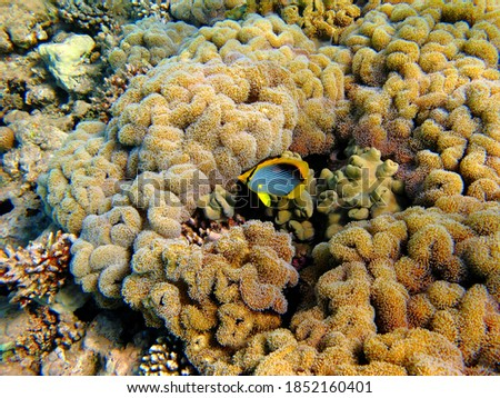 Coral reef and colorful tropical fish - yellow blackback butterflyfish (Chaetodon melannotus). Aquatic life, travel picture. Scuba diving with wildlife, underwater photography. Fish and coral.