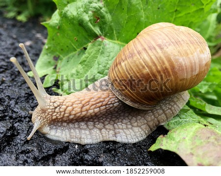 Small garden snail in shell crawling on wet road, slug hurry home. Snail slug consist of edible tasty food coiled shell to protect body. Natural animal snail in shell slug crawling in big wild nature. Royalty-Free Stock Photo #1852259008