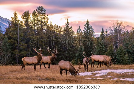 A herd of elk grazing in the mountains at sunrise Royalty-Free Stock Photo #1852306369
