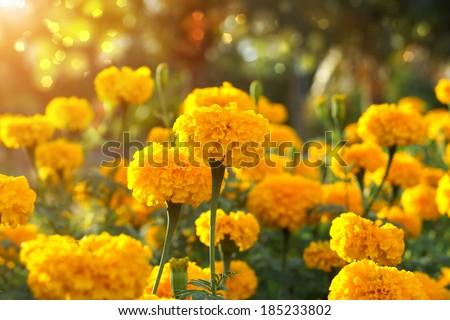 Marigold in the garden #185233802