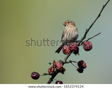 Female House Finch Feeding on Red Berries on Green Background in Fall Royalty-Free Stock Photo #1852374124