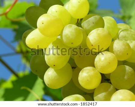 Close-up of an bunch of green grapes with clear blue sky as background #1852417
