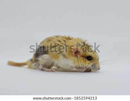 Selective focus of the fat tailed gerbil that was thin and hair lost due to illness for several months.