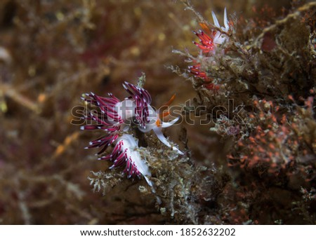 Side view of an Elegant nudibranch (Cratena sp.1) a pale body and its cerata are reddish or orange with white tips.