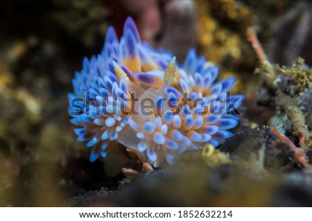 Gas flame (Bonisa nakaza) large and beautiful nudibranch densely covered with cerata and blue ceratal tips.