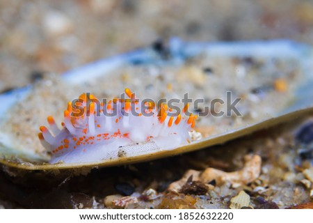 Orange-clubbed sea slug (Limacia clavigera) with its egg ribbon, white-bodied dorid with numerous orange-tipped projections on its body.