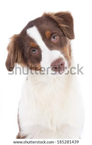 Australian shepherd puppy #185281439