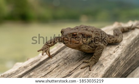 Common toad or European toad (Bufo bufo) in nature, close up