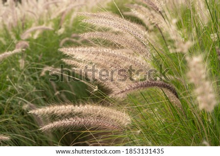 foxtail meadow, squirrel tail field, golden grassland, fairy tail background