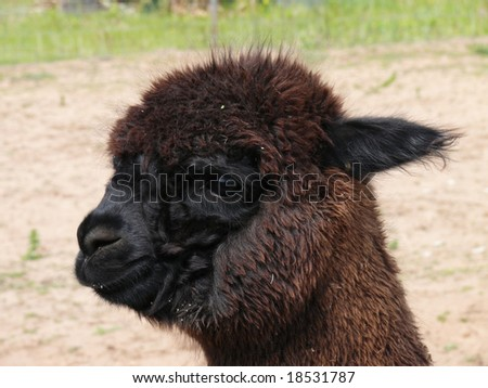 close up of alpaca #18531787