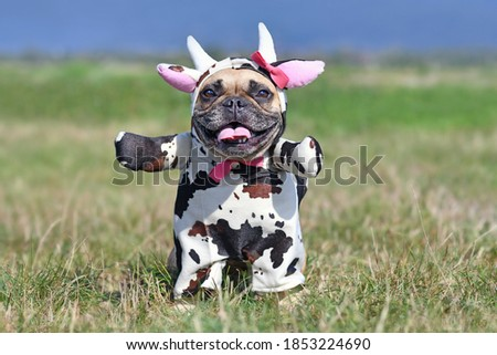 Cute happy French Bulldog dog wearing a funny full body Halloween cow costume with fake arms, horns, ears and ribbon Royalty-Free Stock Photo #1853224690