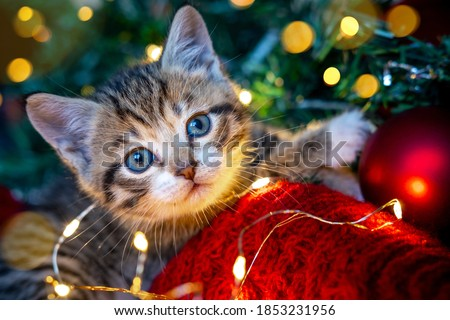Christmas cat. Portrait striped kitten playing with Christmas lights garland on festive red background. Kitty looking at camera. Royalty-Free Stock Photo #1853231956