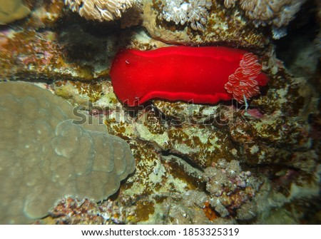 Spanish dancer - sea slug, Red Sea, Egypt, underwater photograph