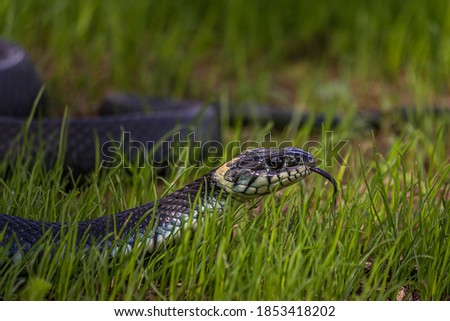 The grass snake (Natrix natrix), sometimes called the ringed snake or water snake, is a Eurasian non-venomous snake. It is often found near water and feeds almost exclusively on amphibians Royalty-Free Stock Photo #1853418202