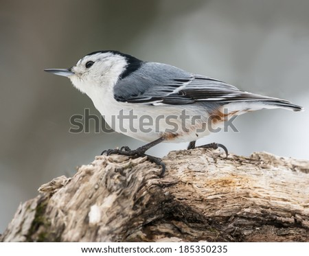White-Breasted Nuthatch #185350235