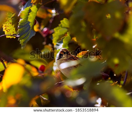 A picture of the autumn morning. A curious sparrow in the foliage.