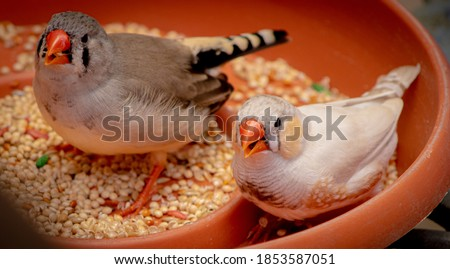 A high angle shot of zebra finch birds eating seeds on a bowl Royalty-Free Stock Photo #1853587051