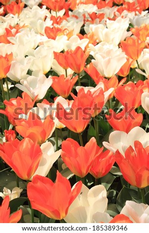 spring flowering tulips in parks sigurta Italian Verona #185389346