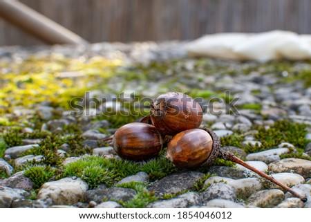 macro photo, three acorns in the picture