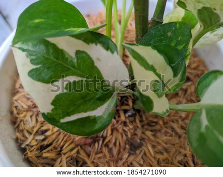 Closeup picture of Pearls and Jade Pothos (Epipremnum aureum) in white pot, one of a popular houseplant.